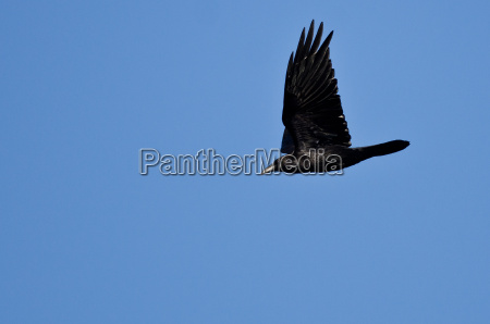 black common raven flying in a