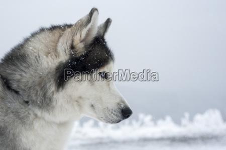 husky, dog winter - 14038939