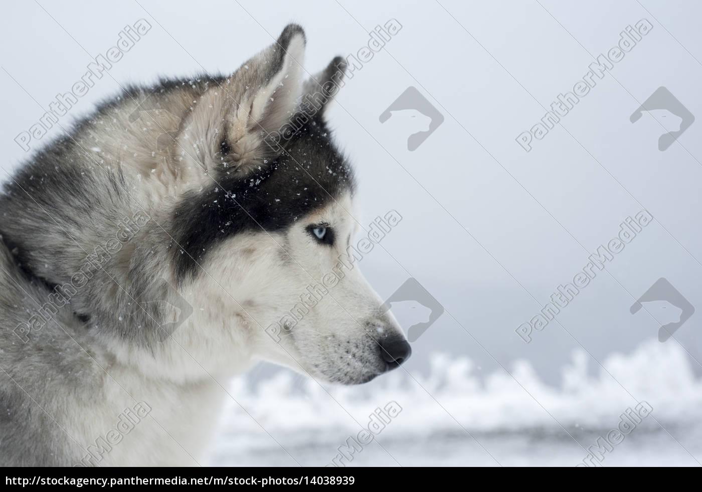 husky - 14038939