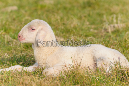 portrait, of, lamb - 14040739