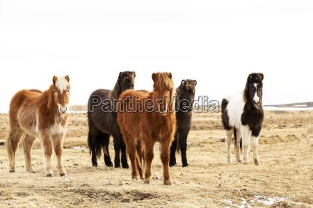 herd of icelandic ponies