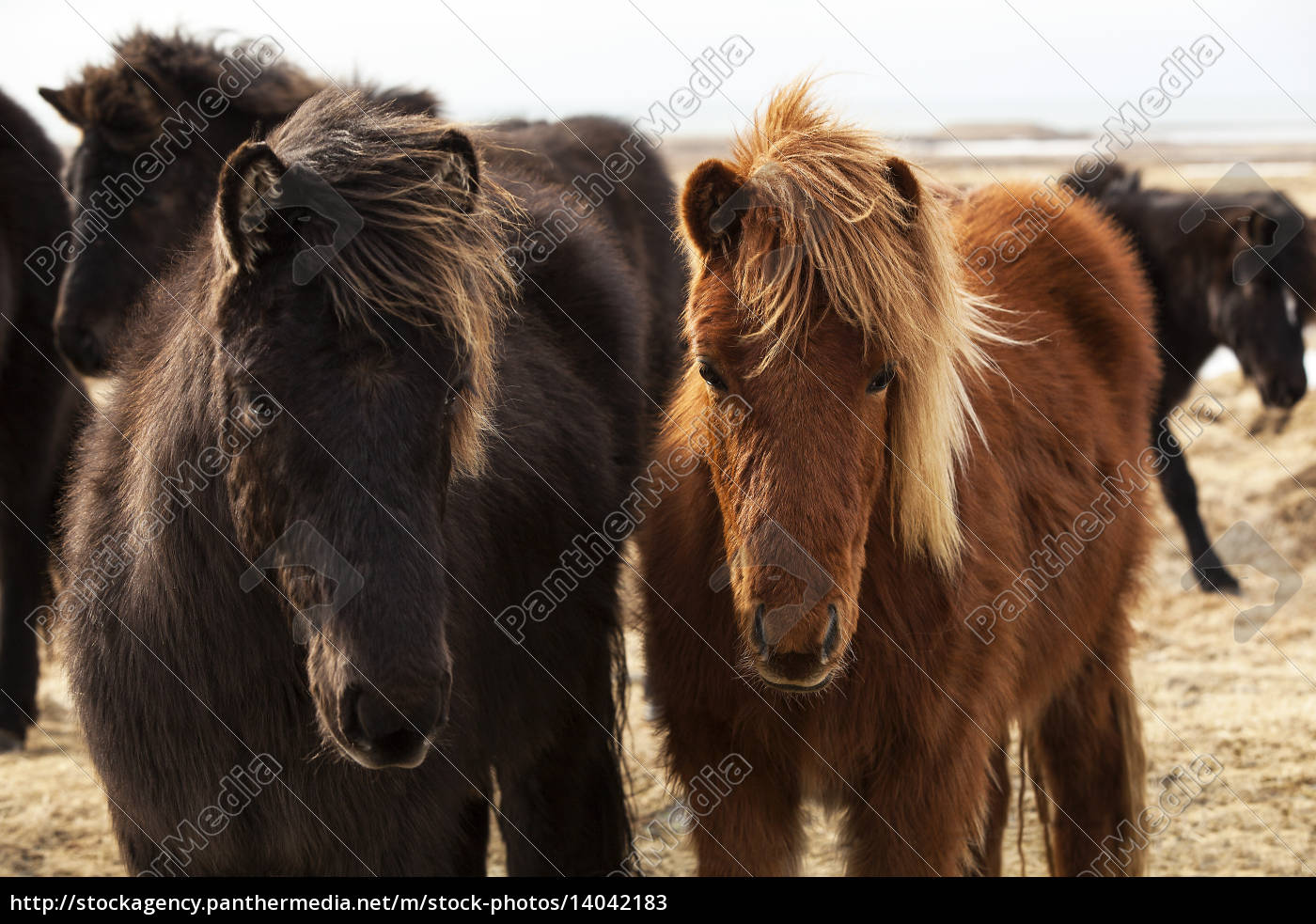 herd, of, icelandic, ponies - 14042183