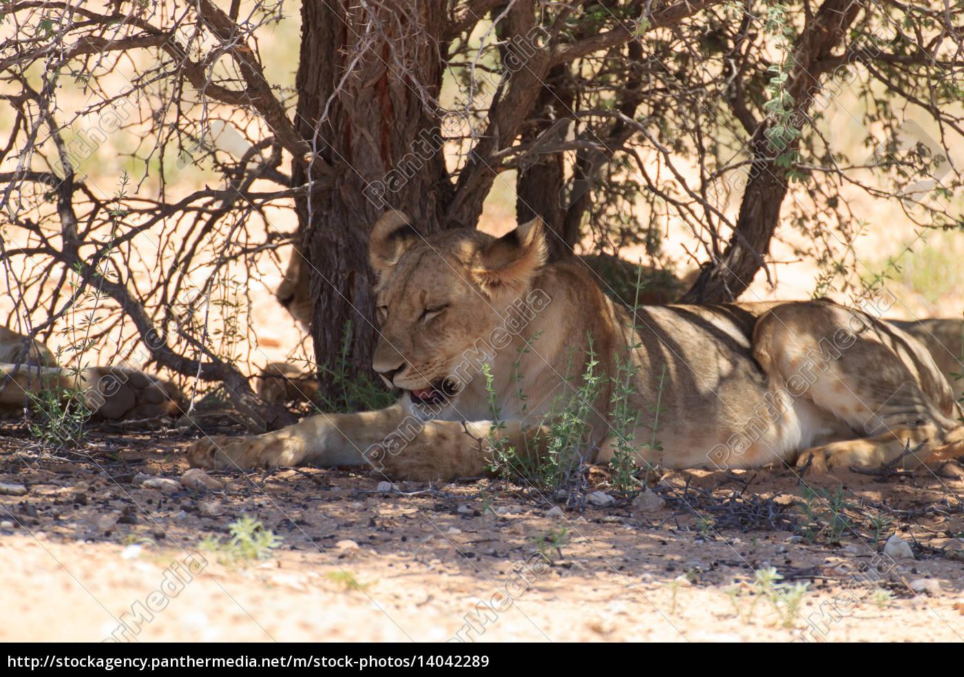 lions - 14042289