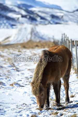 brown icelandic horse in front of
