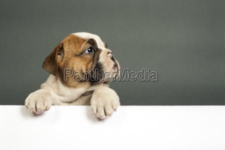 english, , bulldog, puppy. - 14045553