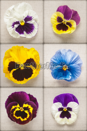 pansy, flowers - 14045621