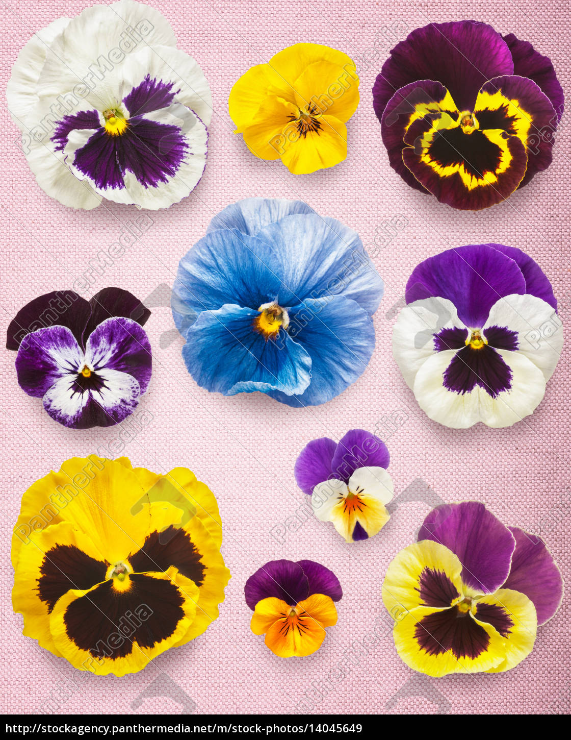 pansy, flowers - 14045649