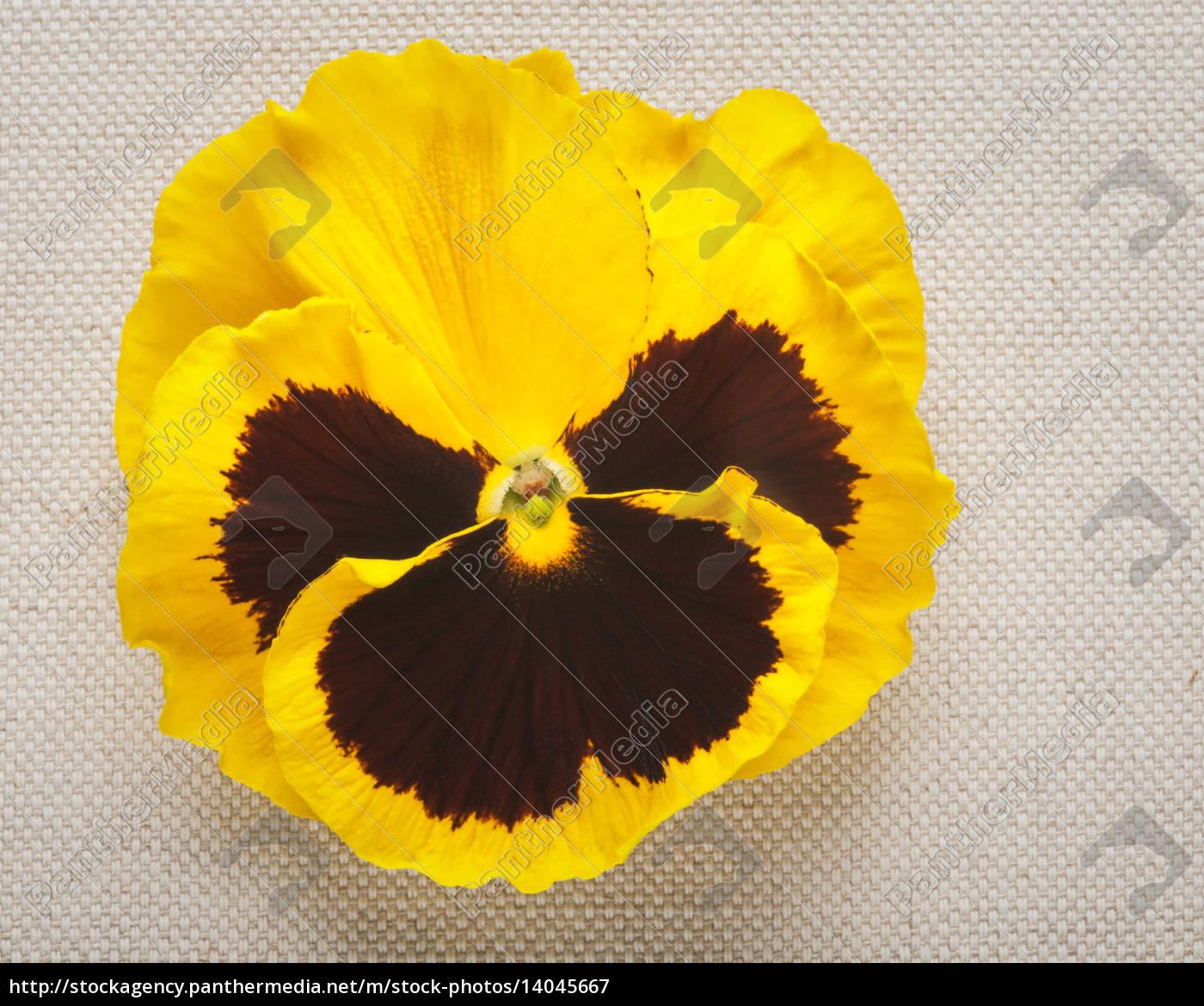 yellow, pansy - 14045667