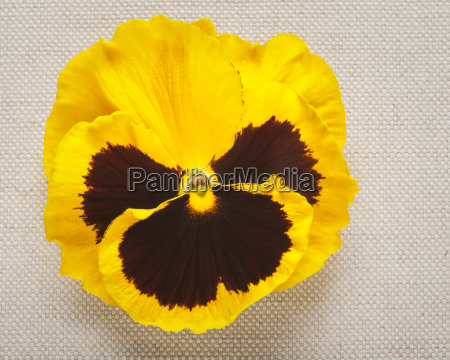 yellow, pansy - 14045667