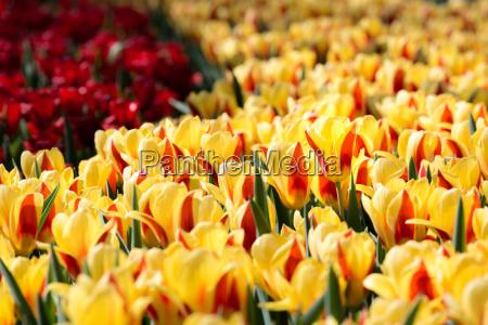 tulips, flowers, field - 14047561