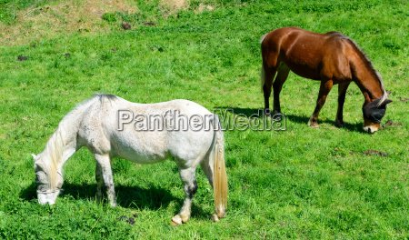 horses, in, a, meadow - 14048343