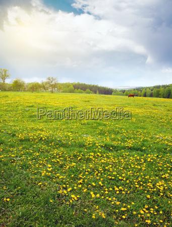 flowering, dandelion, field - 14050615