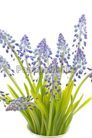 grape, hyacinths, on, white, background - 14050209