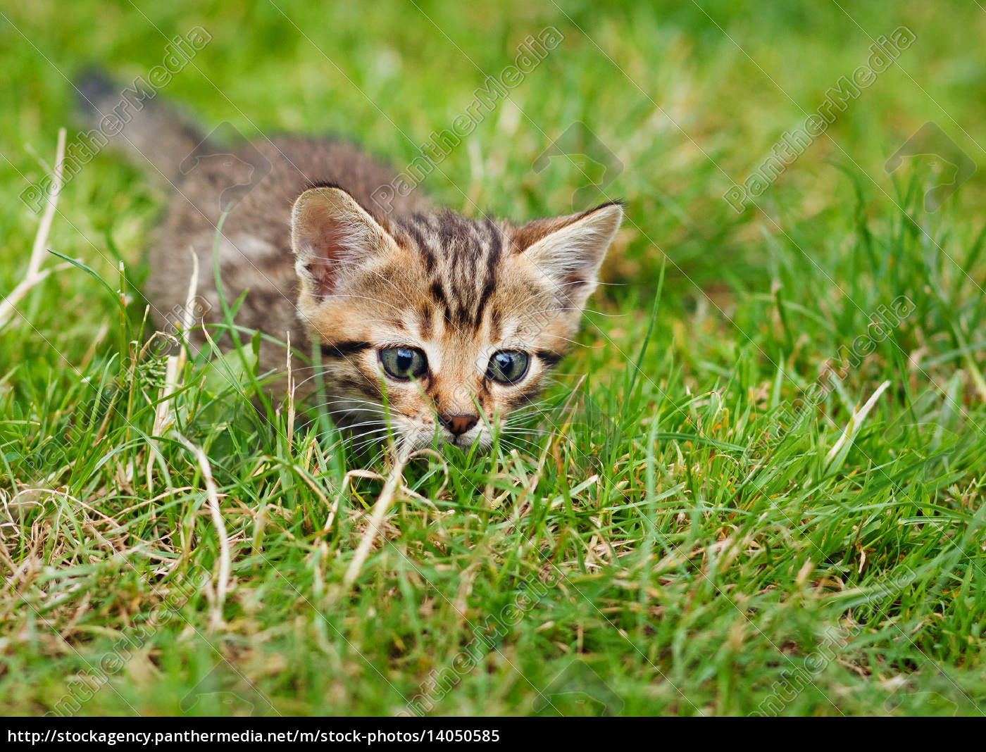 little, striped, kitten, hiding, in, the - 14050585