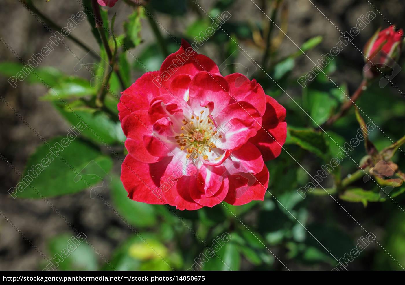 pink, rose, in, , flower, garden - 14050675