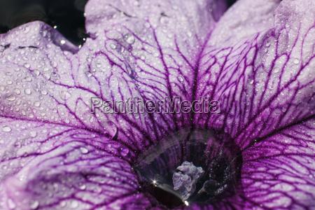 purple, petunia, flower - 14050697