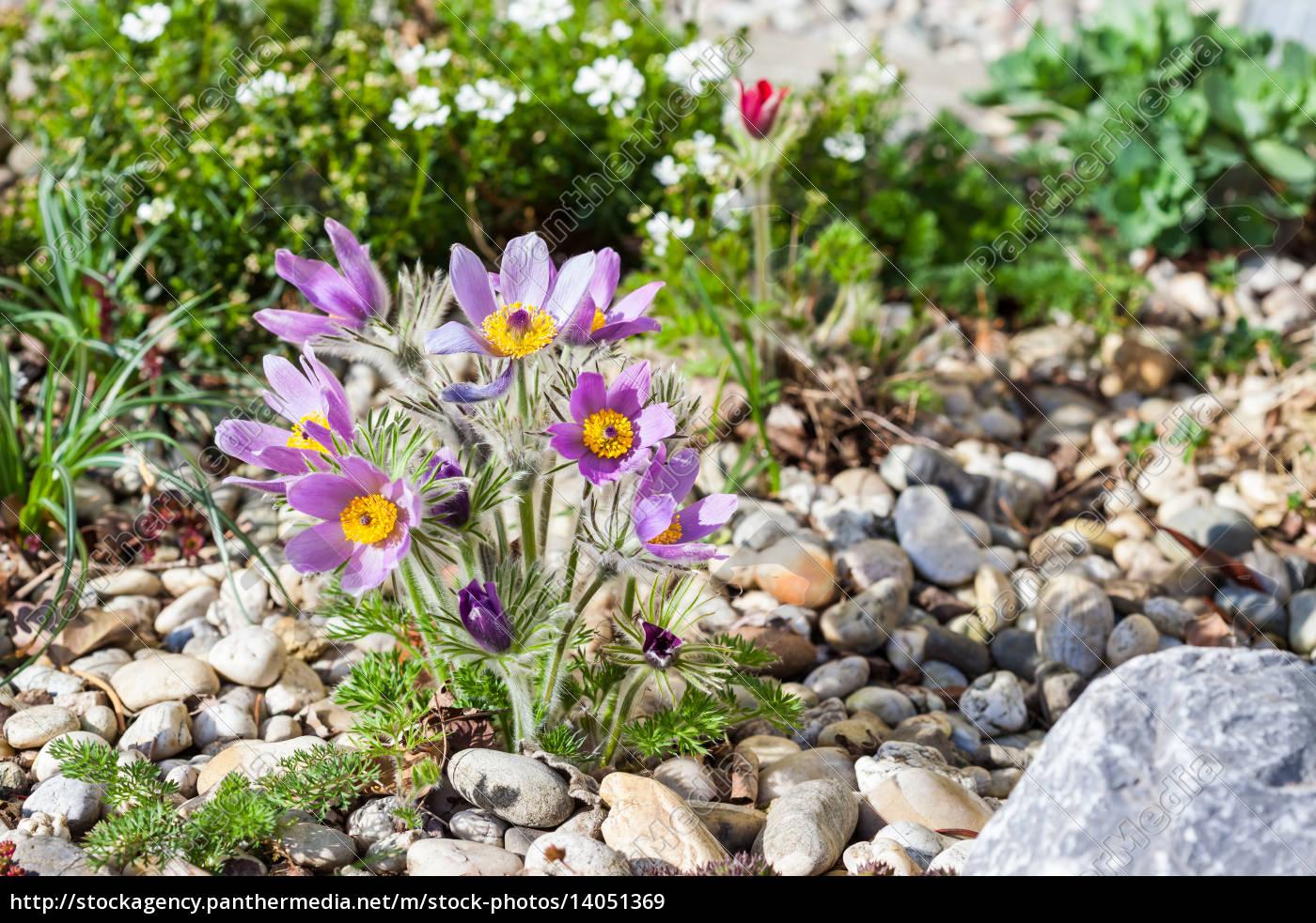 stone, garden, with, pasque, flower, - 14051369