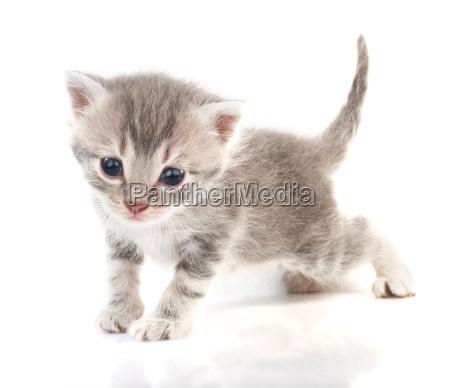 gray, kitten - 14052121