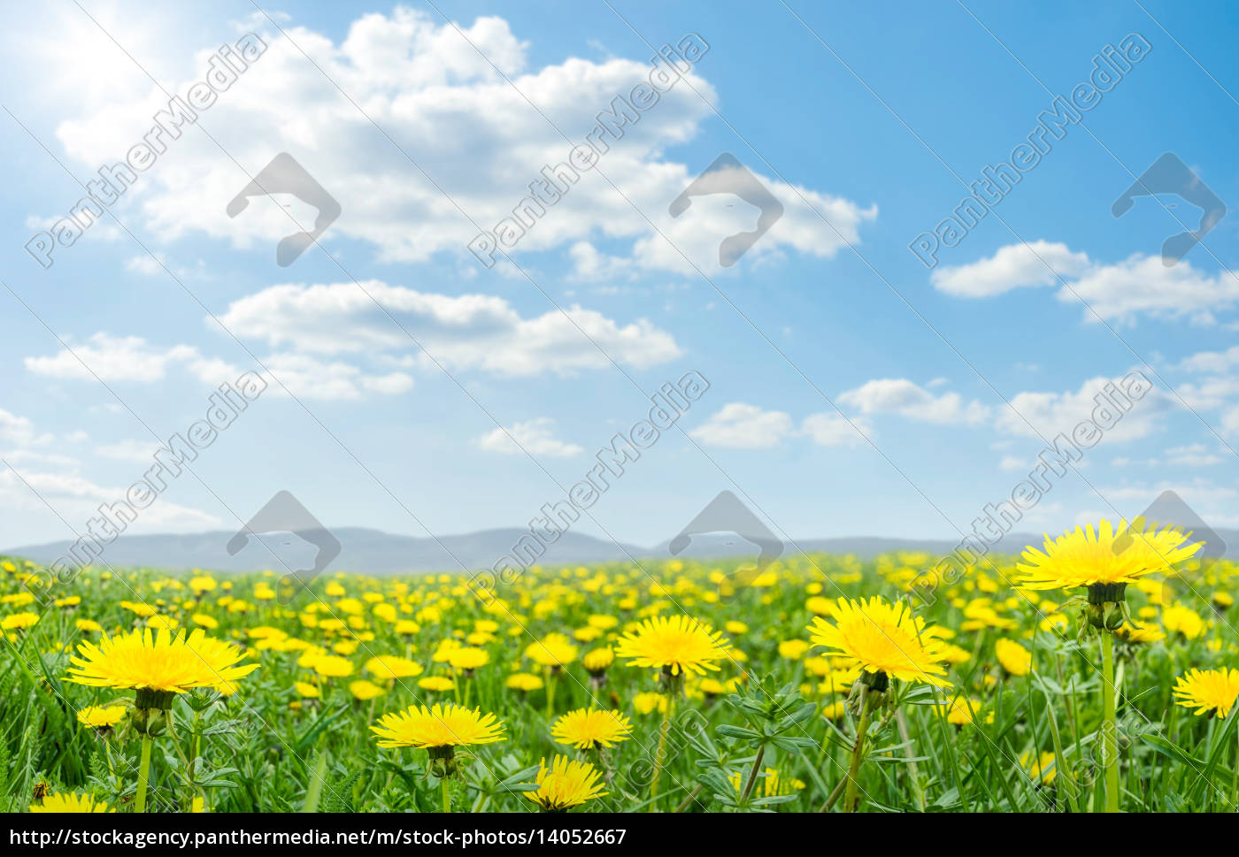 spring, meadow, with, blooming, dandelion - 14052667