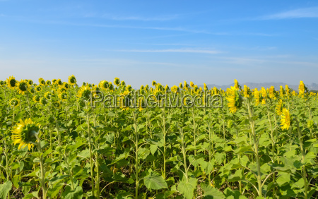 sunflower, field, over, blue, sky - 14052789