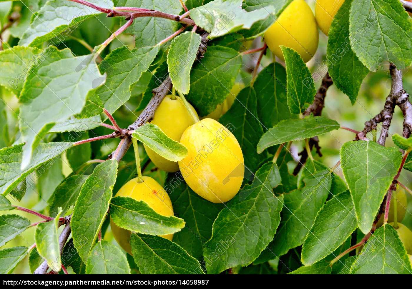 plums, yellow, on, branch, with, leaves - 14058987