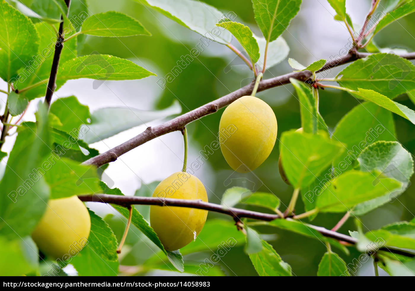 plums, yellow, on, branch - 14058983
