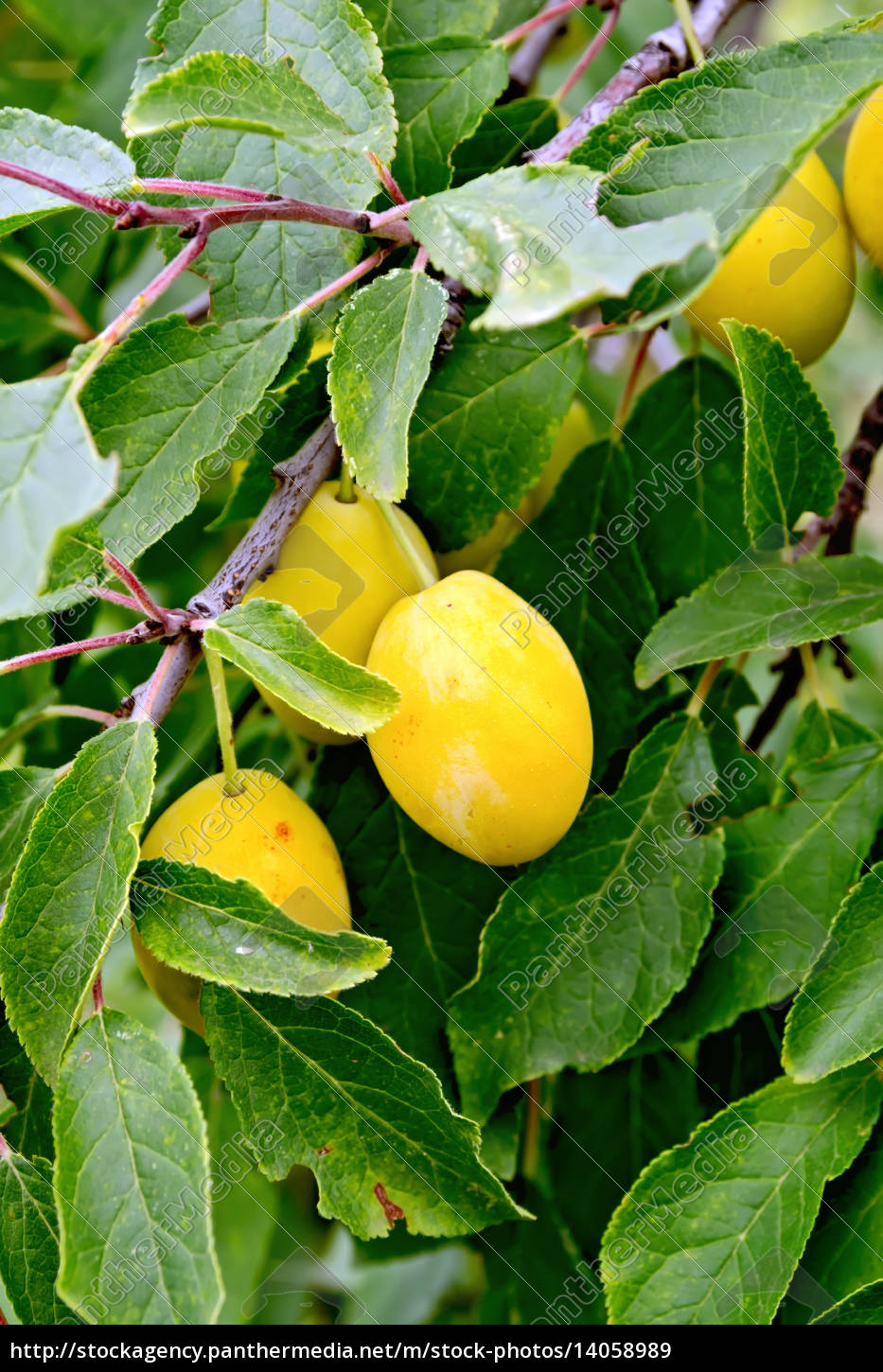 plums, yellow, on, tree, branch - 14058989