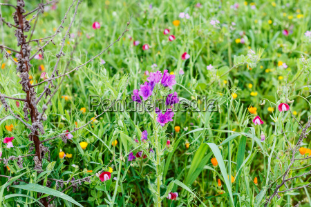 wildflower at mountain meadow in spring