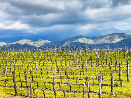 empty, vineyard, in, etna, winemaking, region - 14059379