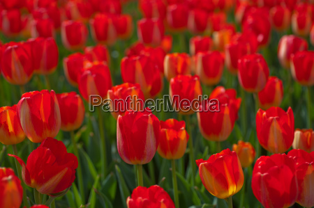 colorful, tulips, field - 14061627