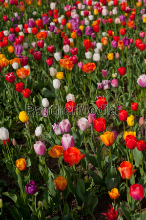 colorful, tulips, field - 14061643