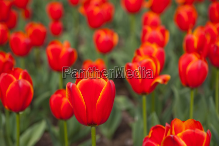 colorful, tulips, field - 14061671
