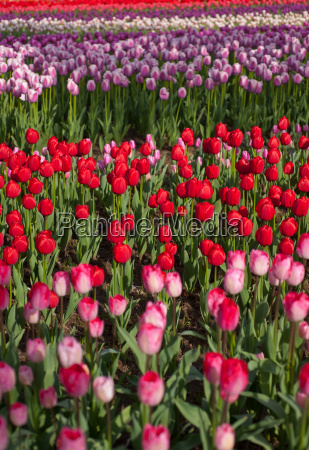 colorful, tulips, field - 14061677