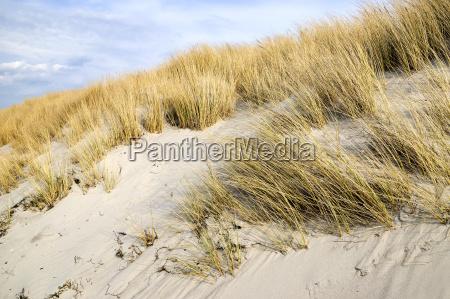 golden dune grass on the baltic