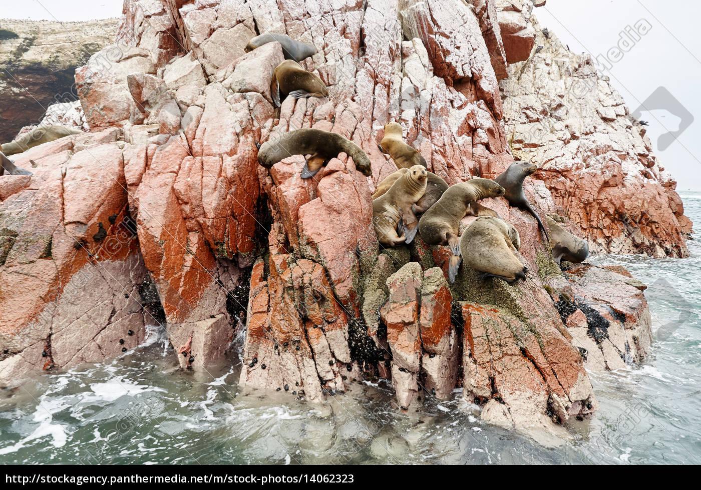 sea, lion, on, rocky, formation, islas - 14062323