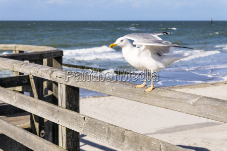 sitting, seagull - 14062241