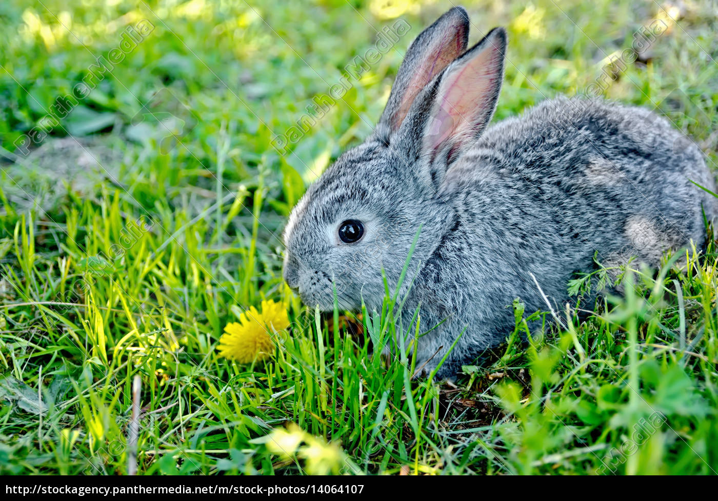 rabbit, gray, on, the, grass, with - 14064107