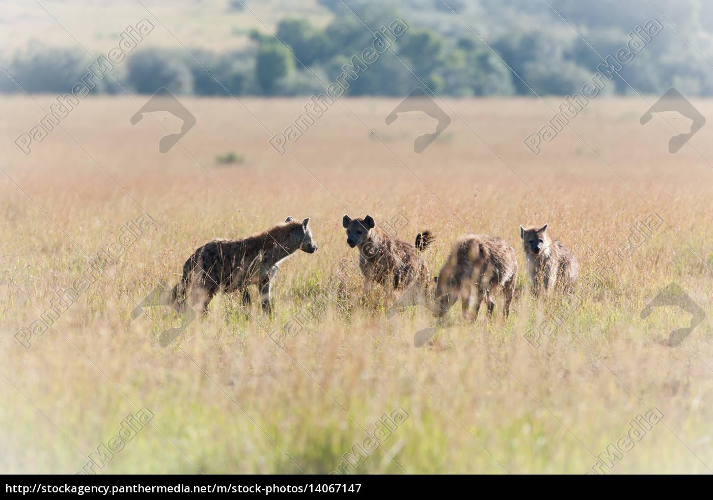 hyenas - 14067147
