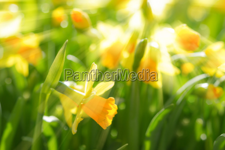 yellow spring flowers narcissus daffodils with