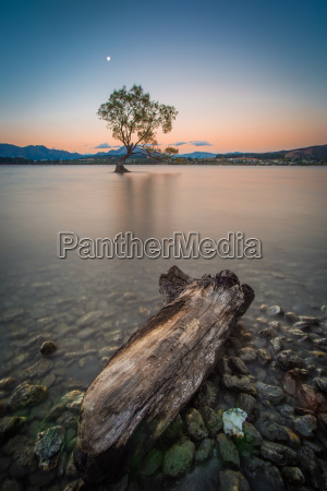 lonely tree at lake wanaka in
