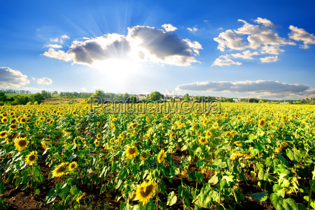 landscape, with, sunflowers - 14078051