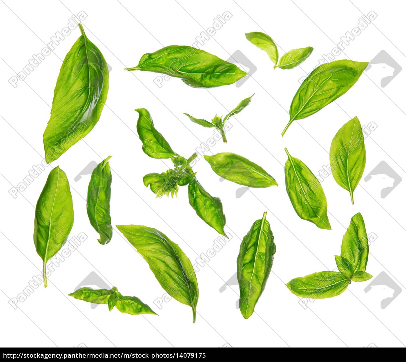 scattered, fresh, sweet, basil, leaves - 14079175