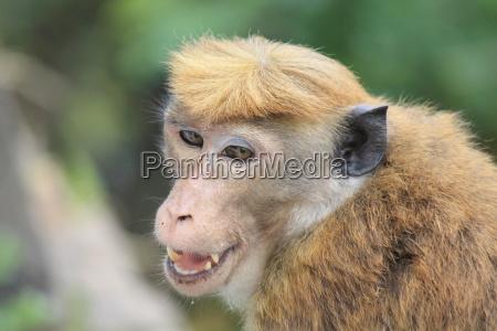 ceylon hat monkey on sri lanka