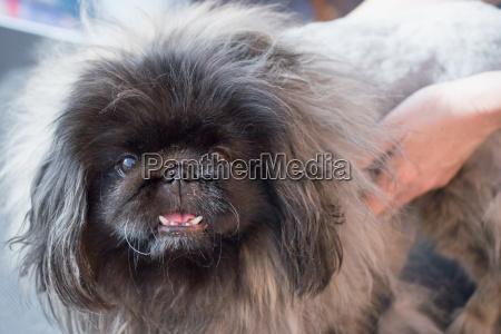 grooming of the pekingese dog