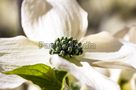 a, solitary, dogwood, bloom - 14089061
