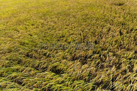 autumn, rice, field - 14093565