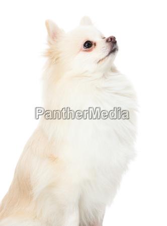 cute, pomeranian, puppy, looking, up - 14093511