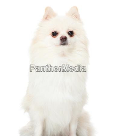 pomeranian, dog, sitting, on, isolated, background - 14093505