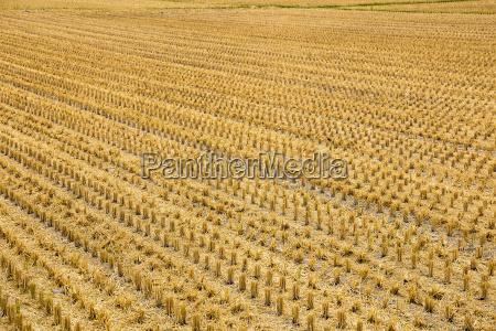 wilt, paddy, rice, field - 14093589