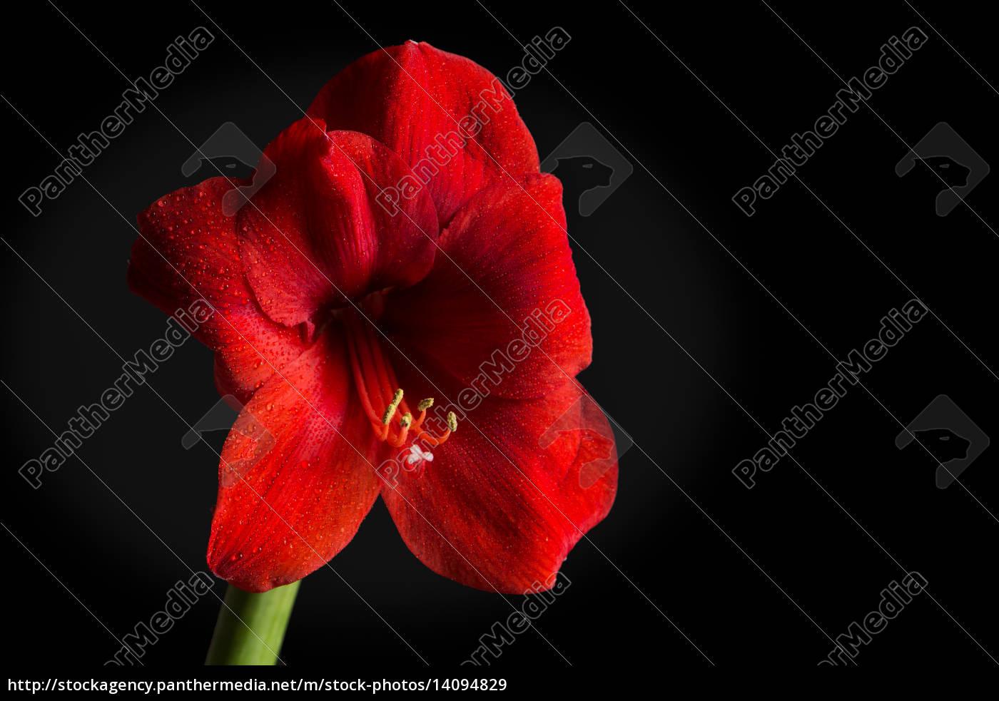 red, amaryllis, flower, on, black, background. - 14094829